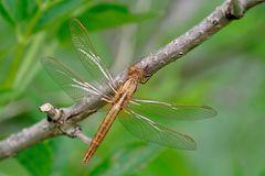 Feuerlibelle (Crocothemis erythraea) weiblich