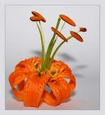 Feuerlilie 1