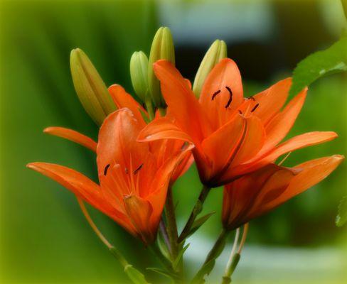 Feuerlilie, Lilium bulbiferum