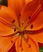 Feuerlilie Staubgefäße und Stempel