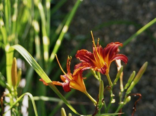 Feuerlilien im Garten