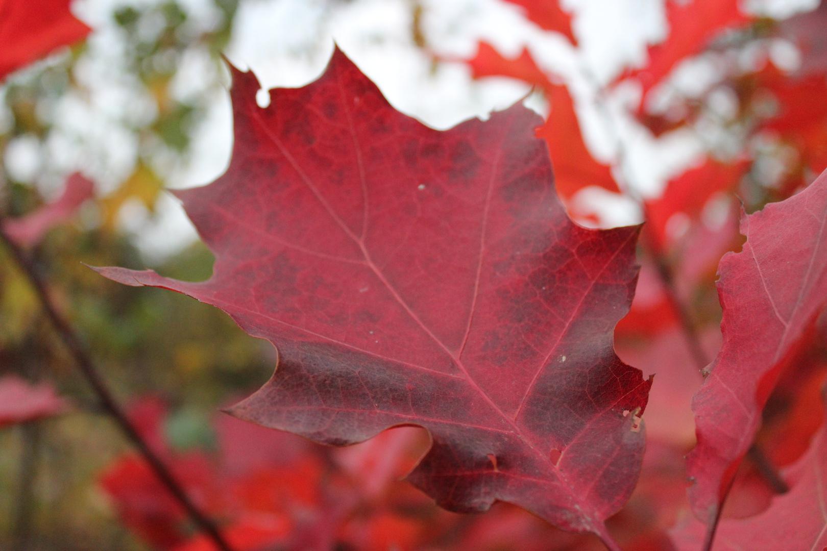 Feuerroter Herbst