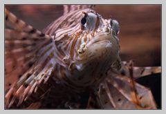 feuerroter Rotfeuerfisch