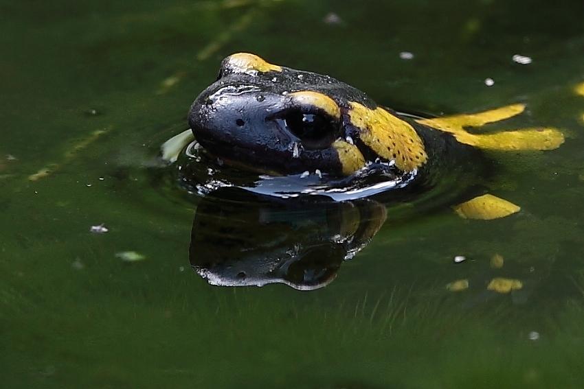 Feuersalamander im Teich, Dettingen an der Erms, Biosphärengebiet schw. Alb