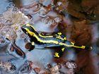 Feuersalamander - Salamandra salamandra