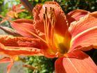 Feuertaglilie