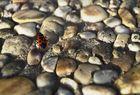Feuerwanze   (Pyrrhocoris apterus )