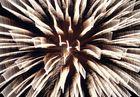Feuerwerkstern