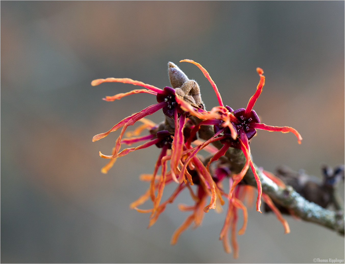 Feuerzauber Zaubernuss (Hamamelis x intermedia)