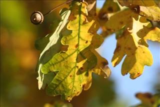 feuillage d automne:le chene,le roi de la foret