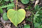feuille coeur
