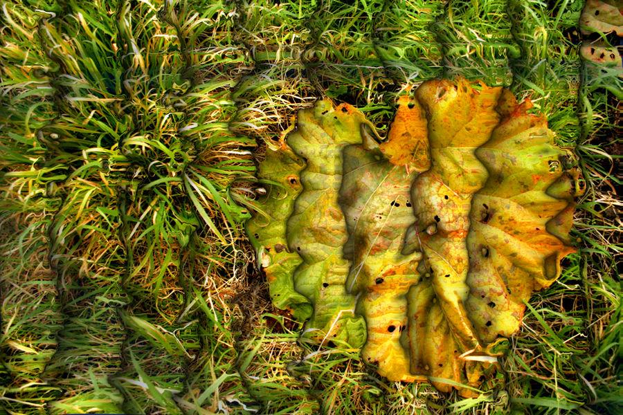 Feuille de rhubarbe gisante
