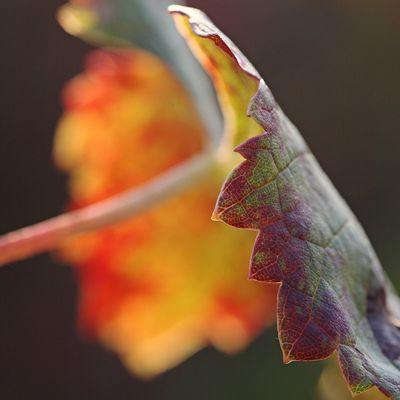 Feuille de vigne en automne - Médoc