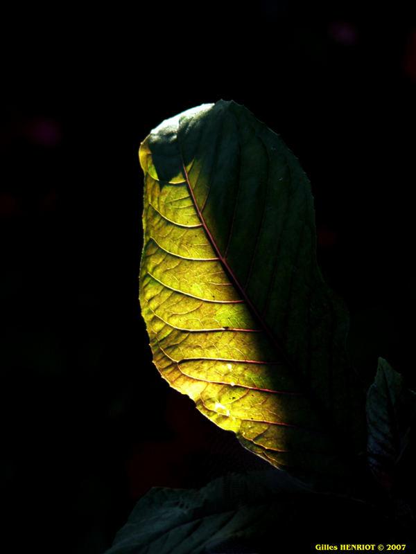 feuille ensoleillée en sous-bois