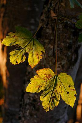 feuilles d' érable