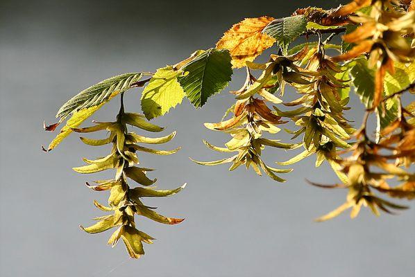 feuilles d'automne aux etangs de Comelle