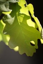 feuilles de chene