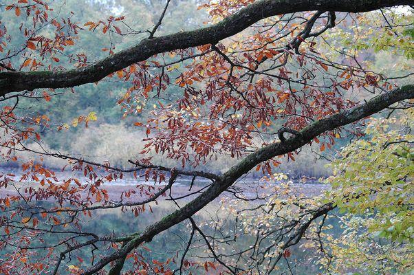 feuilles rougies