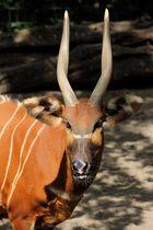 """""""Feurige Antilope"""""""