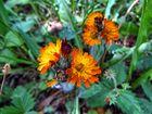 Feurige Blüte des Orangeroten Habichtskraut