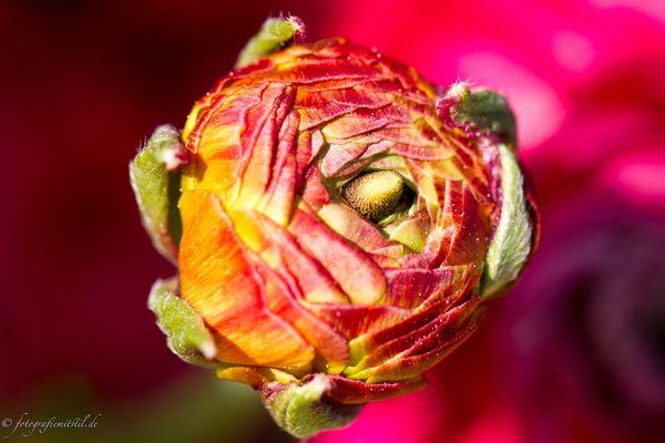 feurige Blütenblätter :-)
