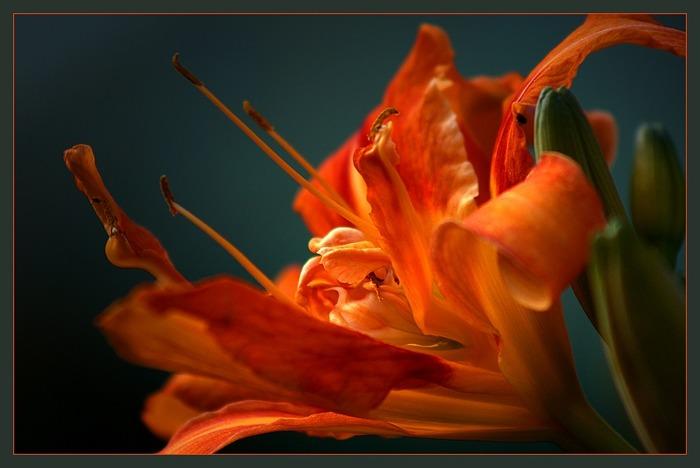 """""""Feurige Lilie"""""""