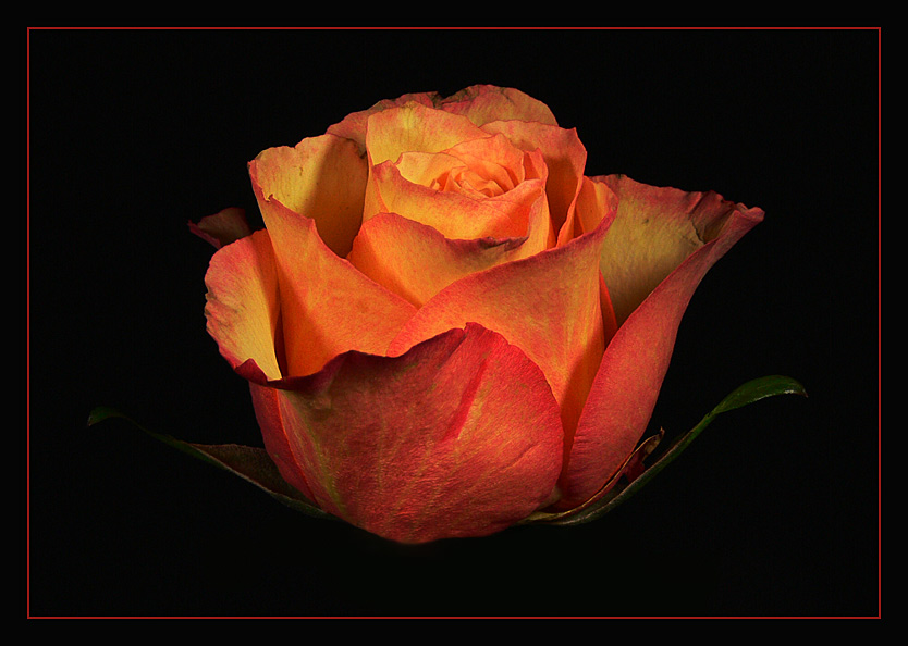 Feurige Rose