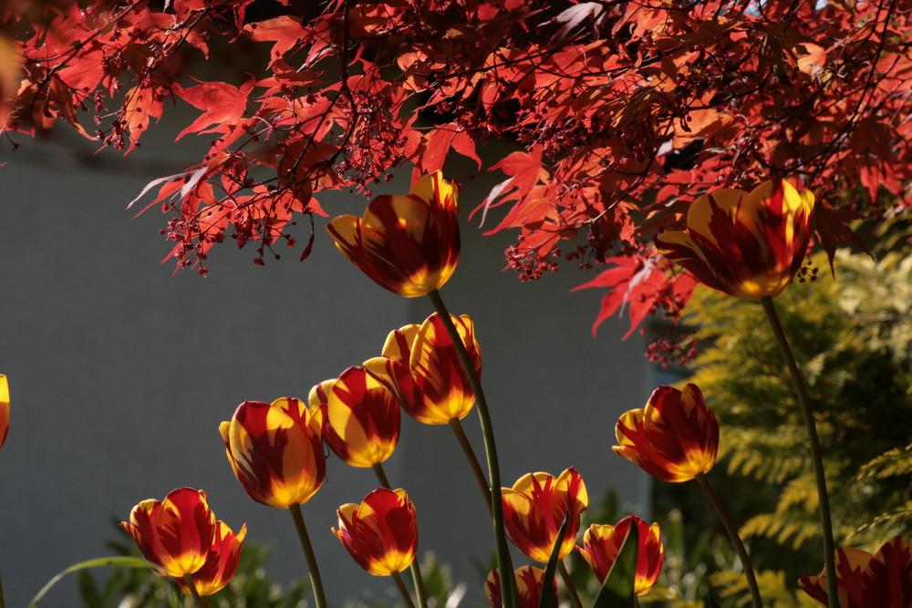 feurige tulpe an Rotahorn