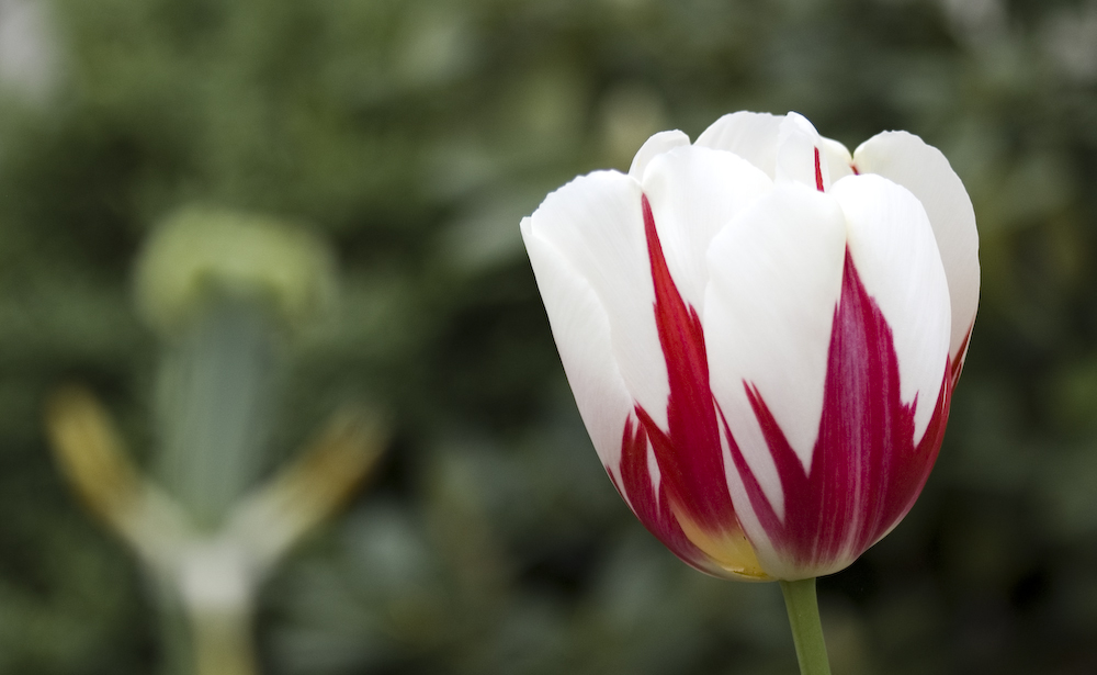 Feuriges Ding diese Tulpe