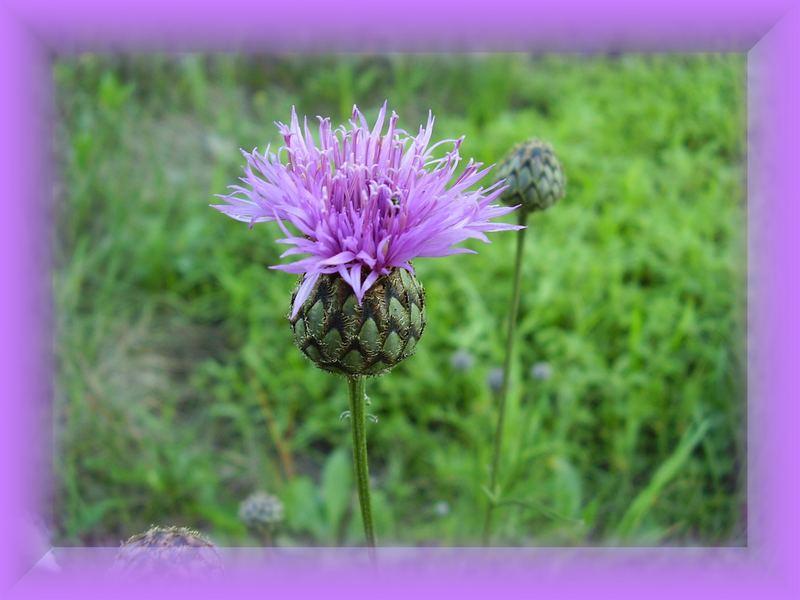 Fialova/violet