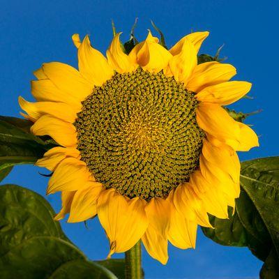 Fibonacci-Reihen