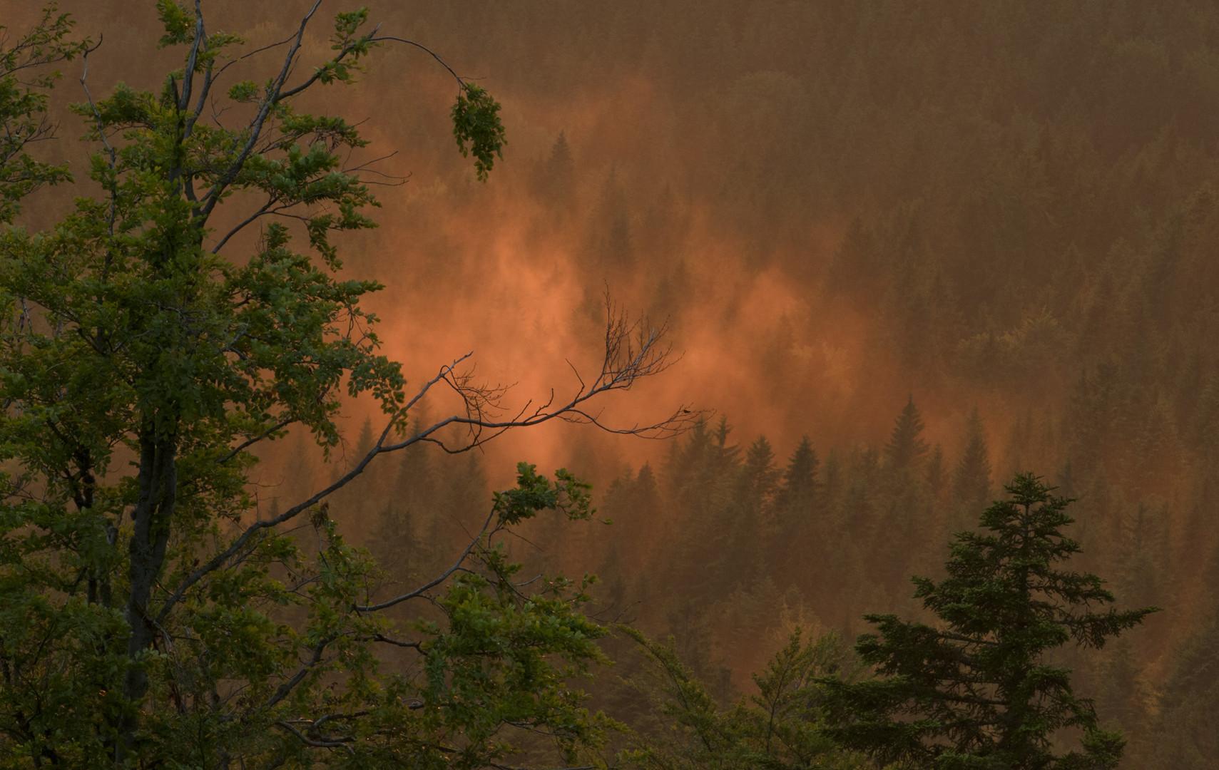 Fichten im Nebel, beleuchtet von der untergehenden Sonne