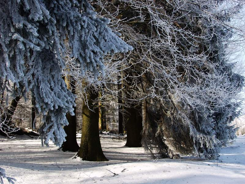 Fichtenwald Bild 2