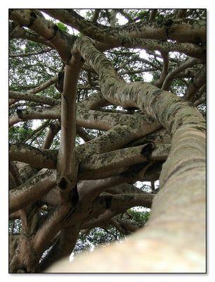 """""""Ficus Gigantus"""""""