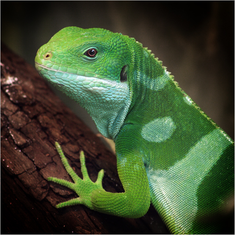 Fidji-Leguan