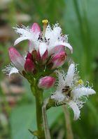 Fieberklee 'Menyanthes trifoliata'