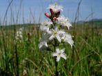 Fieberklee Menyanthes trifoliata…