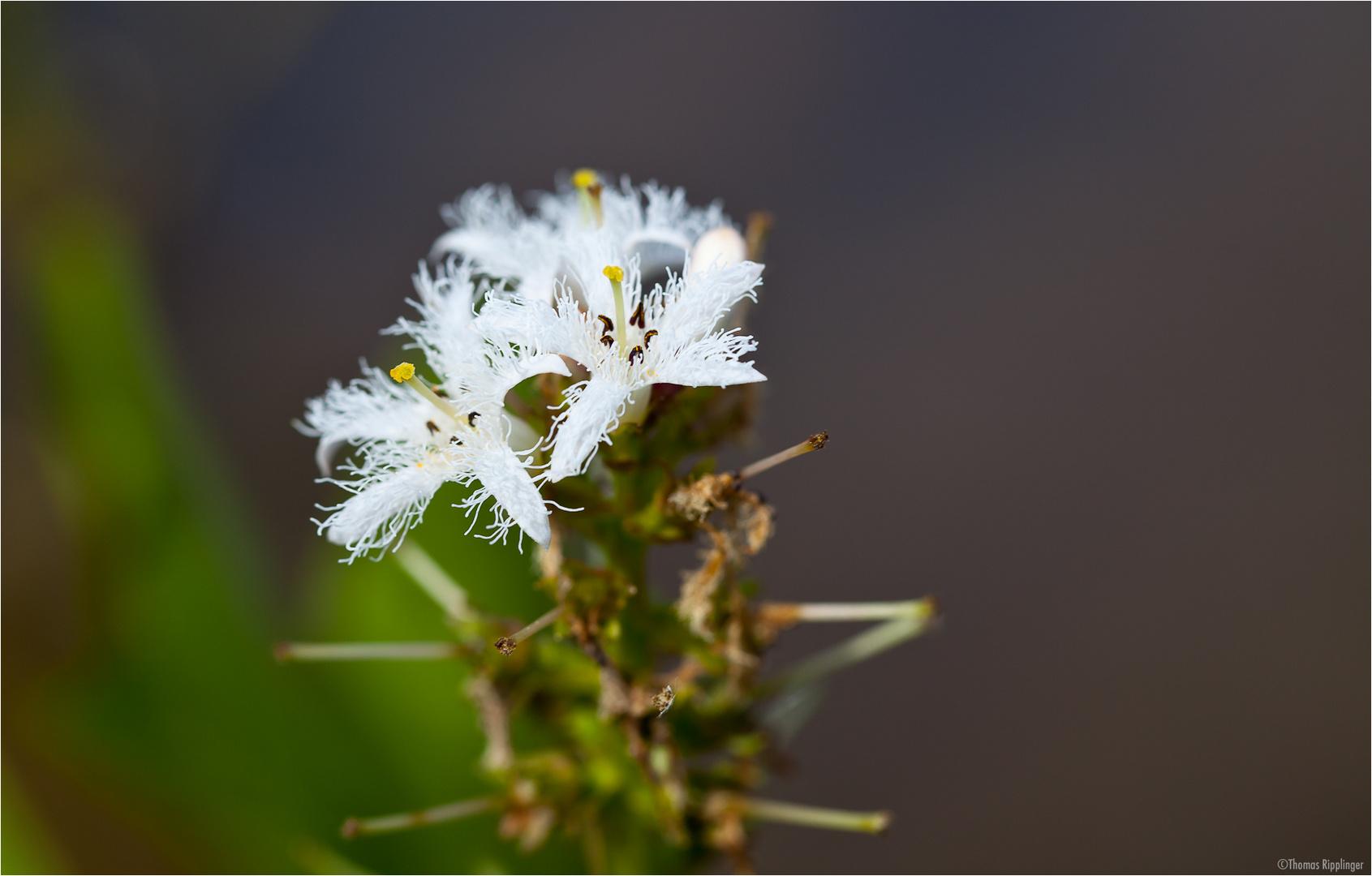 Fieberklee oder Bitterklee (Menyanthes trifoliata)...