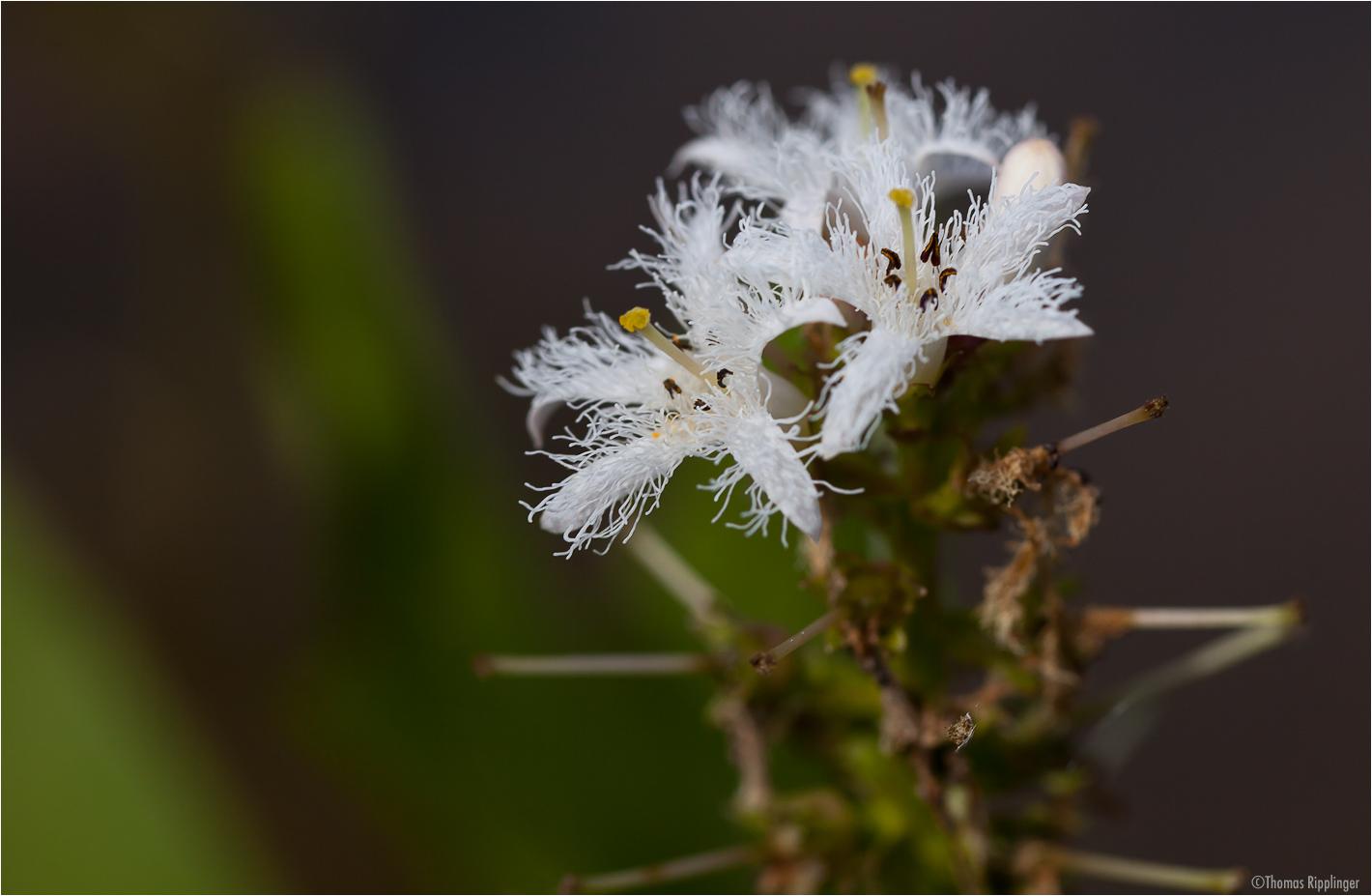 Fieberklee oder Bitterklee (Menyanthes trifoliata)..
