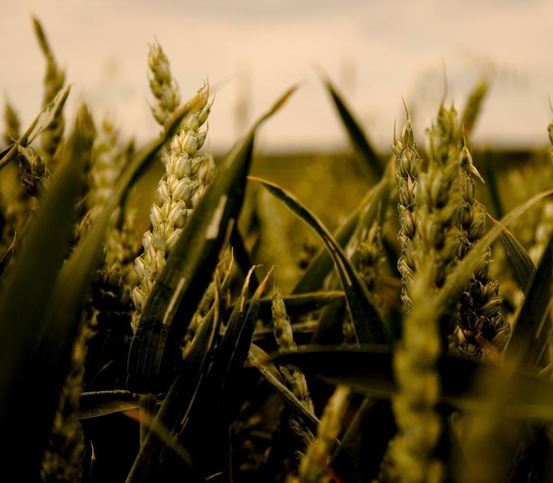 field of corns