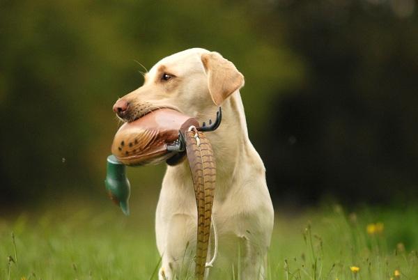 Field Trailer Labrador Bele