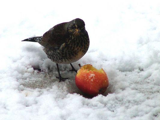 Fieldfare -Bird