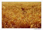~ Fields of Gold ~