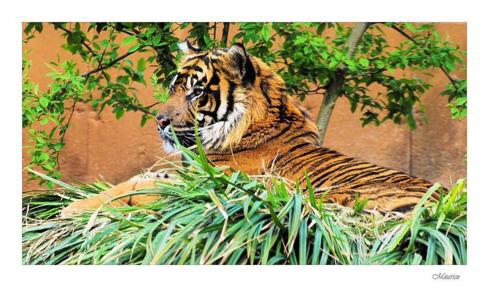 fier comme un tigre