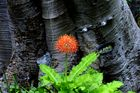 """Fiereball "" Kirstenbosch -Botanik"