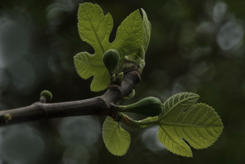 Fig Tree - Early Spring