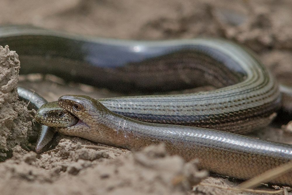 Fighting blindworms
