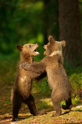 Fighting cubs