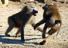 Fighting Monkeys