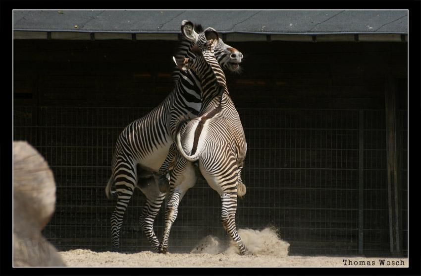 Fighting Zebras... I